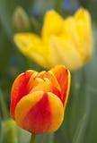 Beautiful tulip-7 Royalty Free Stock Photography