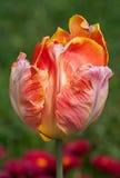 Beautiful tulip-16 Royalty Free Stock Images