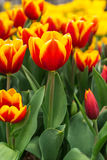 Beautiful tulip in the garden. Beautiful tulip with green leaf in the garden Royalty Free Stock Images