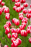 Beautiful tulip in the garden Royalty Free Stock Photography