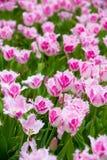 Beautiful tulip in the garden Stock Images