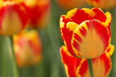 Beautiful tulip in park Royalty Free Stock Photography