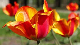 Beautiful tulip stock footage