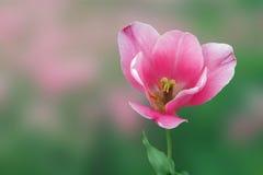 Beautiful tulip by springtime. Beautiful spring tulip on green background stock photos