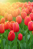 Beautiful tulips Royalty Free Stock Photo