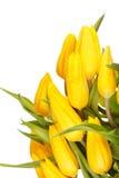 Beautiful tulips Stock Photos