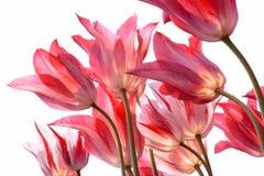Beautiful tulips. Stock Image