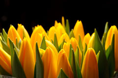 Beautiful tulips Stock Image