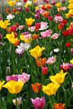 Beautiful  tulips. The beautiful  tulips grows in loneliness Royalty Free Stock Photo