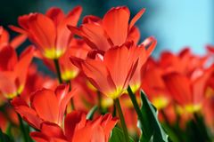 Beautiful tulips. Beautiful red tulips on Canadian Tulip Festival in Ottawa Royalty Free Stock Photography