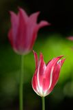 Beautiful tulips. In the garden (E-1 + olympus zuiko 135mm F2.8 royalty free stock image
