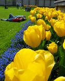 Beautiful Tulips. During spring time royalty free stock images