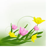 Beautiful tulips. Beautiful yellow and pink tulips. Vector illustration. Green background Royalty Free Stock Image