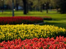 Beautiful tulips. On Canadian Tulip Festival in Ottawa (E-1 + carl zeiss sonnar 135mm F2.8 royalty free stock photo