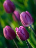 Beautiful tulips. In ottawa tulips festival (E-1 + carl zeiss sonnar 85mm F2.8 Stock Images