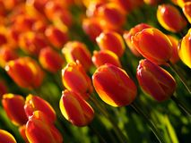Beautiful tulips. In ottawa tulips festival (E-1 + carl zeiss sonnar 85mm F2.8 stock photos