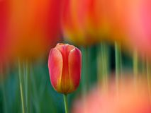Beautiful tulips. On Canadian Tulip Festival in Ottawa (E-1 + carl zeiss sonnar 135mm F2.8 Stock Photos