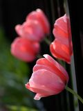 Beautiful tulips. In the garden royalty free stock images