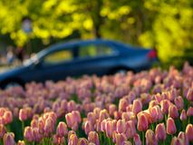 Beautiful tulips. In ottawa tulips festival, a car in background Royalty Free Stock Photos