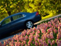 Beautiful tulips. In ottawa tulips festival, a car in background stock photography