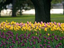 Beautiful tulips. Beautiful park in spring, tulips in foreground Royalty Free Stock Images