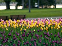 Beautiful tulips. Beautiful park in spring, tulips in foreground stock photos