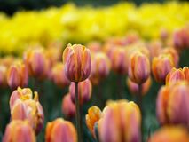 Beautiful tulips. In ottawa tulips festival (E-1 + carl zeiss sonnar 135mm F2.8 stock image
