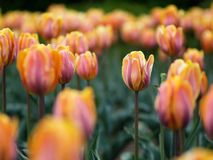 Beautiful tulips. In ottawa tulips festival royalty free stock photos