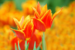 Beautiful Tulips. Two multi-colored tulips surrounded by a large field of tulips stock images