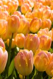 Beautiful tulips. Field with beautifiul colored tulips blooming in april Stock Images