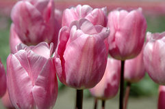 Beautiful Tulips. Beautiful soft pink Tulips Royalty Free Stock Images