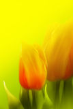 Beautiful tulips. Beautiful red and yellow tulips on spring background Stock Photo