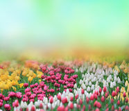 Beautiful tulips background Royalty Free Stock Photography