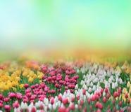 Beautiful tulips background Royalty Free Stock Photography