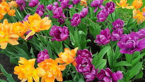 Beautiful  tulips stock video
