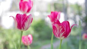 Beautiful tulips bloom in the spring stock video footage