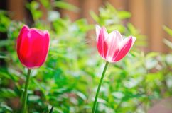 Beautiful tulips bloom in the spring on a meadow royalty free stock images