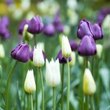 Beautiful tulips blooming in the park or in the garden. Beautiful closed tulips blooming in a field or on a flowerbed Royalty Free Stock Photo