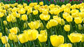 Yellow tulips background Royalty Free Stock Photos