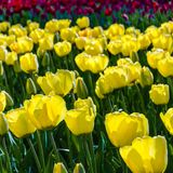 Yellow tulips background Royalty Free Stock Photo