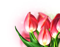 Beautiful tulips with bokeh stock photo