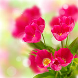 Beautiful tulips on a bokeh background Stock Photos