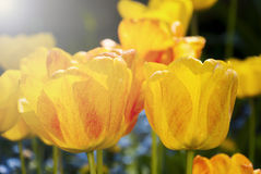 Beautiful tulips close-up. Many tulips in the park Stock Photo
