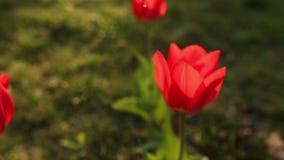 Beautiful tulips close up stock video