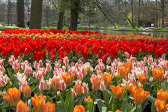 Beautiful  tulips Royalty Free Stock Images