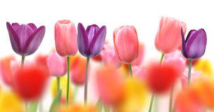Beautiful tulips and color blurs created by selective focus on one row of flowers Royalty Free Stock Image