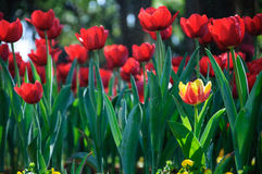 Beautiful tulips. Colorful tulips in the garden Royalty Free Stock Photos