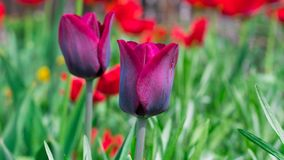 Beautiful tulips colorfully blooming in the spring outside. royalty free stock image