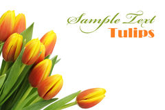 Beautiful tulips with copy space Royalty Free Stock Photo