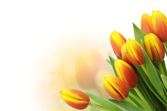 Beautiful tulips with copy space Royalty Free Stock Images